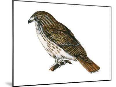 Red-Tailed Hawk (Buteo Jamaicensis), Birds-Encyclopaedia Britannica-Mounted Art Print