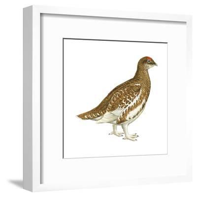 Rock Ptarmigan (Lagopus Mutus), Birds-Encyclopaedia Britannica-Framed Art Print