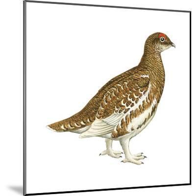Rock Ptarmigan (Lagopus Mutus), Birds-Encyclopaedia Britannica-Mounted Art Print