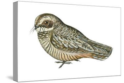 Poorwill (Phalaenoptilus Nuttallii), Birds-Encyclopaedia Britannica-Stretched Canvas Print
