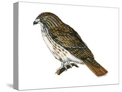 Red-Tailed Hawk (Buteo Jamaicensis), Birds-Encyclopaedia Britannica-Stretched Canvas Print