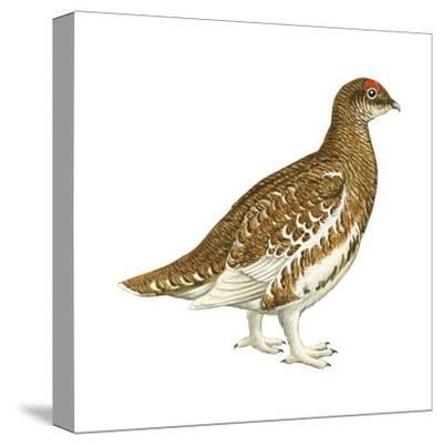 Rock Ptarmigan (Lagopus Mutus), Birds-Encyclopaedia Britannica-Stretched Canvas Print