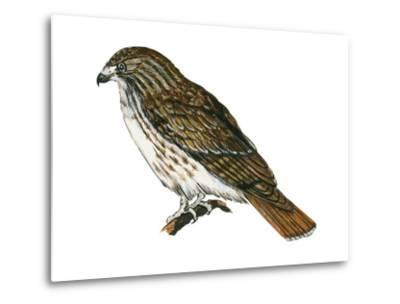 Red-Tailed Hawk (Buteo Jamaicensis), Birds-Encyclopaedia Britannica-Metal Print