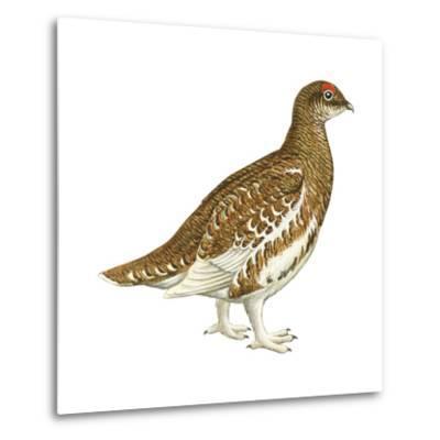 Rock Ptarmigan (Lagopus Mutus), Birds-Encyclopaedia Britannica-Metal Print
