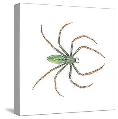 Green Lynx Spider (Peucetia Viridans), Arachnids-Encyclopaedia Britannica-Stretched Canvas Print