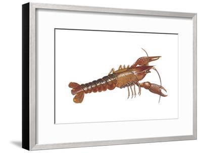 Crayfish (Cambarus Bartonii), Crustaceans-Encyclopaedia Britannica-Framed Art Print