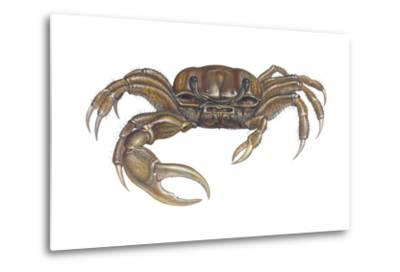 Marsh Fiddler Crab (Uca Pugnax), Crustaceans-Encyclopaedia Britannica-Metal Print