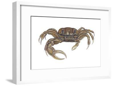 Marsh Fiddler Crab (Uca Pugnax), Crustaceans-Encyclopaedia Britannica-Framed Art Print