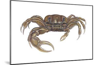Marsh Fiddler Crab (Uca Pugnax), Crustaceans-Encyclopaedia Britannica-Mounted Art Print