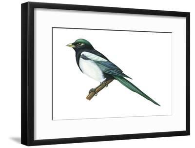 Yellow-Billed Magpie (Pica Nutalli), Birds-Encyclopaedia Britannica-Framed Art Print