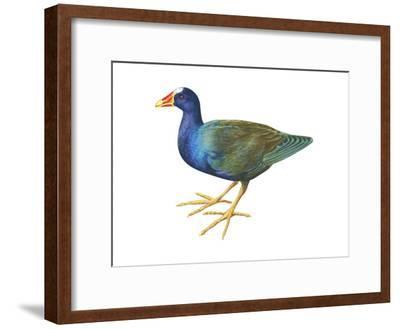 Purple Gallinule (Porphyrula Martinica), Birds-Encyclopaedia Britannica-Framed Art Print