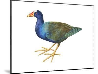 Purple Gallinule (Porphyrula Martinica), Birds-Encyclopaedia Britannica-Mounted Art Print