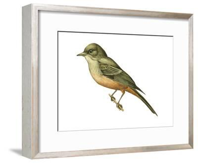 Say's Phoebe (Sayornis Saya), Birds-Encyclopaedia Britannica-Framed Art Print