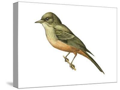 Say's Phoebe (Sayornis Saya), Birds-Encyclopaedia Britannica-Stretched Canvas Print