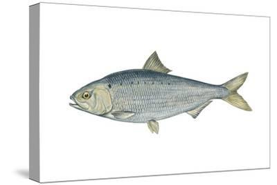 American Shad (Alosa Sapidissima), Fishes-Encyclopaedia Britannica-Stretched Canvas Print