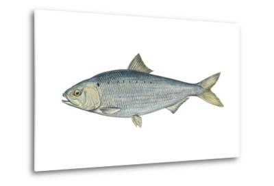 American Shad (Alosa Sapidissima), Fishes-Encyclopaedia Britannica-Metal Print