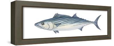 Atlantic Bonito (Sarda Sarda), Fishes-Encyclopaedia Britannica-Framed Stretched Canvas Print