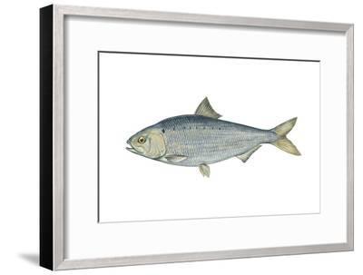 American Shad (Alosa Sapidissima), Fishes-Encyclopaedia Britannica-Framed Art Print