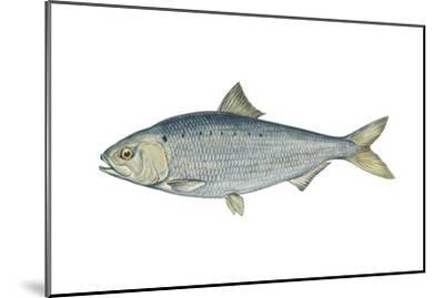 American Shad (Alosa Sapidissima), Fishes-Encyclopaedia Britannica-Mounted Art Print