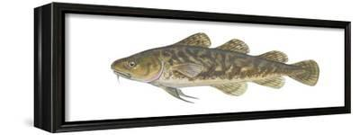 Atlantic Tomcod (Microgadus Tomcod), Fishes-Encyclopaedia Britannica-Framed Stretched Canvas Print