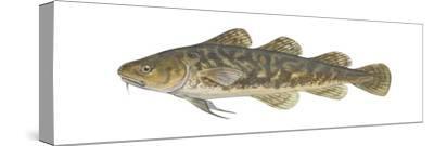Atlantic Tomcod (Microgadus Tomcod), Fishes-Encyclopaedia Britannica-Stretched Canvas Print