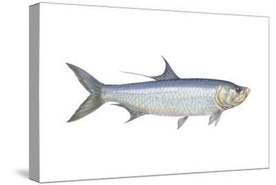Atlantic Tarpon (Megalops Atlantica), Fishes-Encyclopaedia Britannica-Stretched Canvas Print