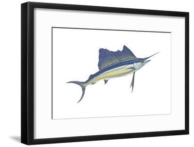 Atlantic Sailfish (Istiophorus Platypterus), Fishes-Encyclopaedia Britannica-Framed Art Print