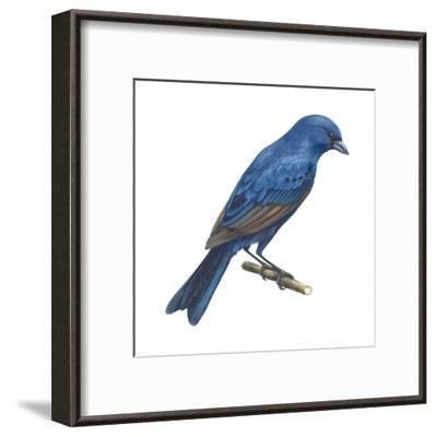 Indigo Bunting (Passerina Cyanea), Birds-Encyclopaedia Britannica-Framed Art Print