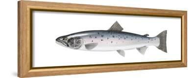 Atlantic Salmon (Salmo Salar), Fishes-Encyclopaedia Britannica-Framed Stretched Canvas Print