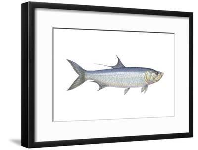 Atlantic Tarpon (Megalops Atlantica), Fishes-Encyclopaedia Britannica-Framed Art Print