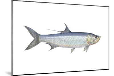 Atlantic Tarpon (Megalops Atlantica), Fishes-Encyclopaedia Britannica-Mounted Art Print