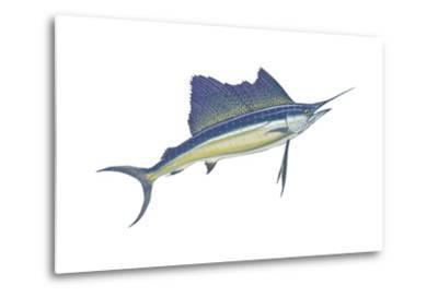 Atlantic Sailfish (Istiophorus Platypterus), Fishes-Encyclopaedia Britannica-Metal Print