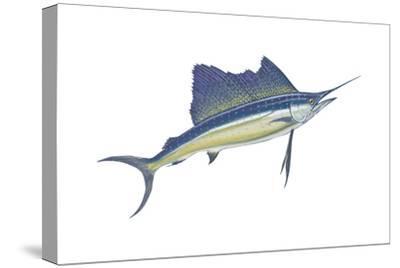 Atlantic Sailfish (Istiophorus Platypterus), Fishes-Encyclopaedia Britannica-Stretched Canvas Print
