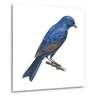 Indigo Bunting (Passerina Cyanea), Birds-Encyclopaedia Britannica-Metal Print