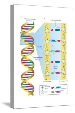 Structure of Dna Molecule. Heredity, Genetics-Encyclopaedia Britannica-Stretched Canvas Print