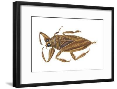 Giant Water Bug (Lethocerus Americanus), Electric Light Bug, Insects-Encyclopaedia Britannica-Framed Art Print