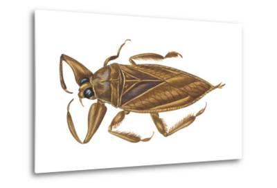Giant Water Bug (Lethocerus Americanus), Electric Light Bug, Insects-Encyclopaedia Britannica-Metal Print