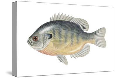 Bluegill (Lepomis Macrochirus), Fishes-Encyclopaedia Britannica-Stretched Canvas Print