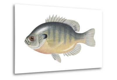 Bluegill (Lepomis Macrochirus), Fishes-Encyclopaedia Britannica-Metal Print