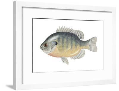 Bluegill (Lepomis Macrochirus), Fishes-Encyclopaedia Britannica-Framed Art Print