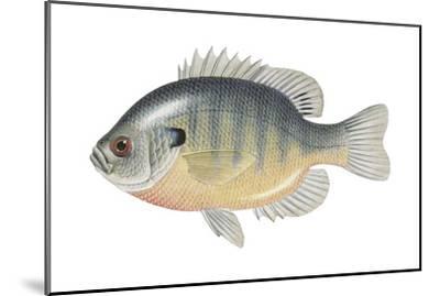 Bluegill (Lepomis Macrochirus), Fishes-Encyclopaedia Britannica-Mounted Art Print