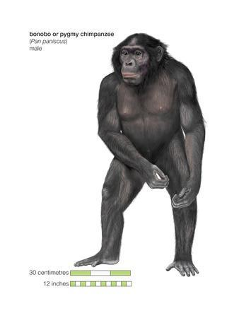 Male Bonobo or Pygmy Chimpanzee (Pan Paniscus), Ape, Mammals-Encyclopaedia Britannica-Stretched Canvas Print