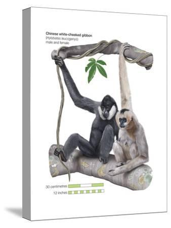 Male and Female Chinese White-Cheeked Gibbon (Hylobates Leucogenys), Ape, Mammals-Encyclopaedia Britannica-Stretched Canvas Print