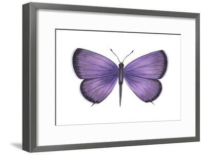 Eastern Tailed Blue Butterfly (Everes Comyntas), Insects-Encyclopaedia Britannica-Framed Art Print