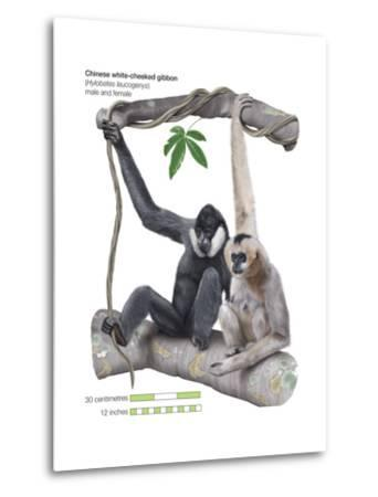 Male and Female Chinese White-Cheeked Gibbon (Hylobates Leucogenys), Ape, Mammals-Encyclopaedia Britannica-Metal Print