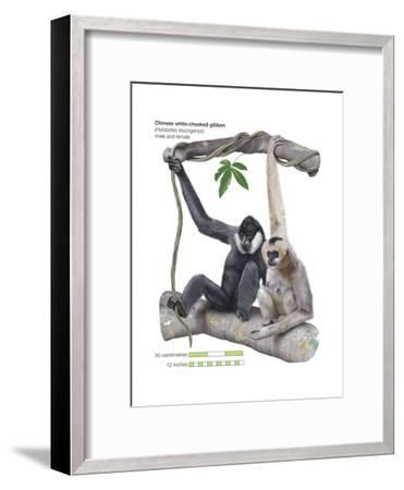 Male and Female Chinese White-Cheeked Gibbon (Hylobates Leucogenys), Ape, Mammals-Encyclopaedia Britannica-Framed Art Print