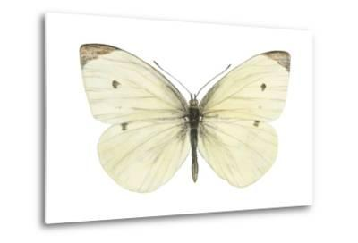 Cabbage Butterfly (Pieris Rapae), Insects-Encyclopaedia Britannica-Metal Print