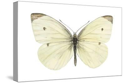Cabbage Butterfly (Pieris Rapae), Insects-Encyclopaedia Britannica-Stretched Canvas Print