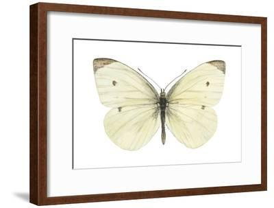 Cabbage Butterfly (Pieris Rapae), Insects-Encyclopaedia Britannica-Framed Art Print