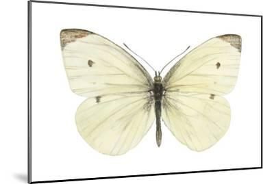 Cabbage Butterfly (Pieris Rapae), Insects-Encyclopaedia Britannica-Mounted Art Print